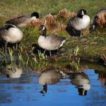 """""""Canadian Geese"""" by mariawhyte"""