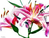 Stargazer Lily No. One