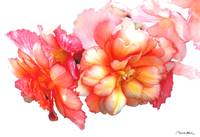 Tuberous Begonia No. One