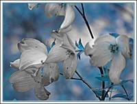 Blossoms  blue