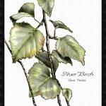 """Silver Birch"" by SMcElwee"