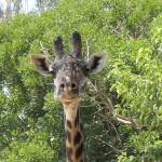 """Giraffe Close Up"" by SeaAngel"