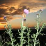 """Russian Thistle"" by JBCPhotoDesign"