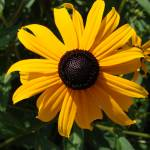 """Black Eyed Susan"" by LivingGaia"