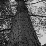 """UP THE TREE (BLACK AND WHITE)"" by CHRISLAURIA"