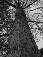 UP THE TREE (BLACK AND WHITE)