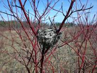 Springtime dogwood with nest