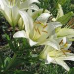 """White Lilies After a Rain"" by willis-prints"