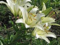 White Lilies After a Rain