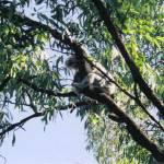 """""""Koala Bear"""" by MariannePorter"""