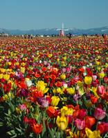 Wooden Shoe Tulip Farm Festival