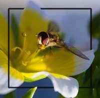 Syrphidae (Hoverfly)