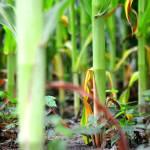 """Distant Corn Stalk"" by boysen"