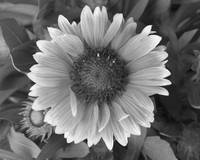 Red Sunflower (B/W)