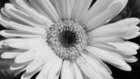 Yellow Sunflower B/W
