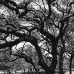 """The Old Oak"" by scphoto"