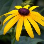 """Black-Eyed Susan"" by valadorstudios"