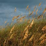 """Sea Oats"" by tompkins"