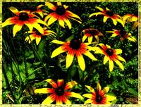 Yellow and red daisies