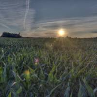 Corn Field Sunset Art Prints & Posters by Adam Mattel