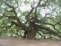 1400 Year Angel Oak Tree