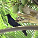 """Black Bird and Coconuts"" by paulasuterphoto"