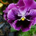 """pansy"" by MariaBell"