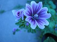 Violet Colored Flower