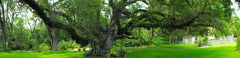 Confederate Oak Panorama