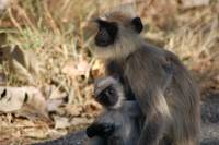 Baby langur with mother