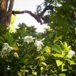 """""""Gardenias in Bloom"""" by ChrisCrowley"""