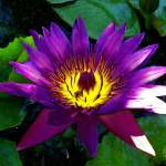 """Purple Lotus Surreal crop"" by ChrisCrowley"