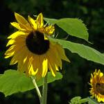 """two sunflowers"" by ninafuller"