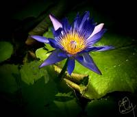 Blue Lotus Portrait