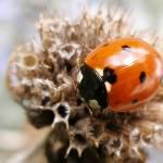 """""""Ladybug1"""" by HiroshiKatayama"""
