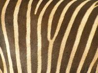 Chocolate Stripes