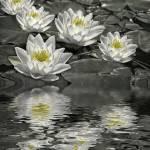 """Lily Of The Pond"" by PhotographyofGrace"