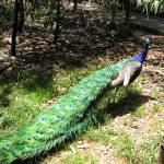"""Peacock"" by sharppiephotos"
