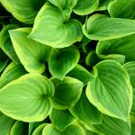"""Hosta Yellow"" by Kym-Marie"