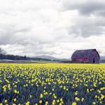 """""""daffodils"""" by christopherboswell"""