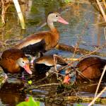 """Blackbelly Whistling Ducks Feeding #2"" by DAD"