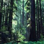 """redwoods"" by christopherboswell"