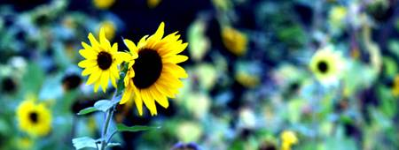 Sunflower_copyright2008_ChristopherBoswell