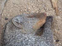 Mongoose snoozing