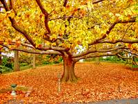 Golden Tree of Autumn