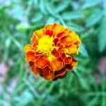 """Orange Yellow Flower"" by IMAX007"
