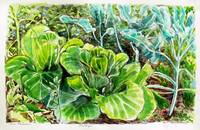 Cabbage 070291