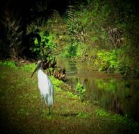 Woodstork Visiting My Street