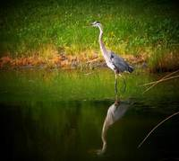 Reflections of a Great Blue Heron
