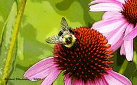 Bee on Cone Flower - Poster Edges 2 copy